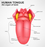 Foramen Cecum of Tongue: Anatomy, Significance, Abnormality and Treatment